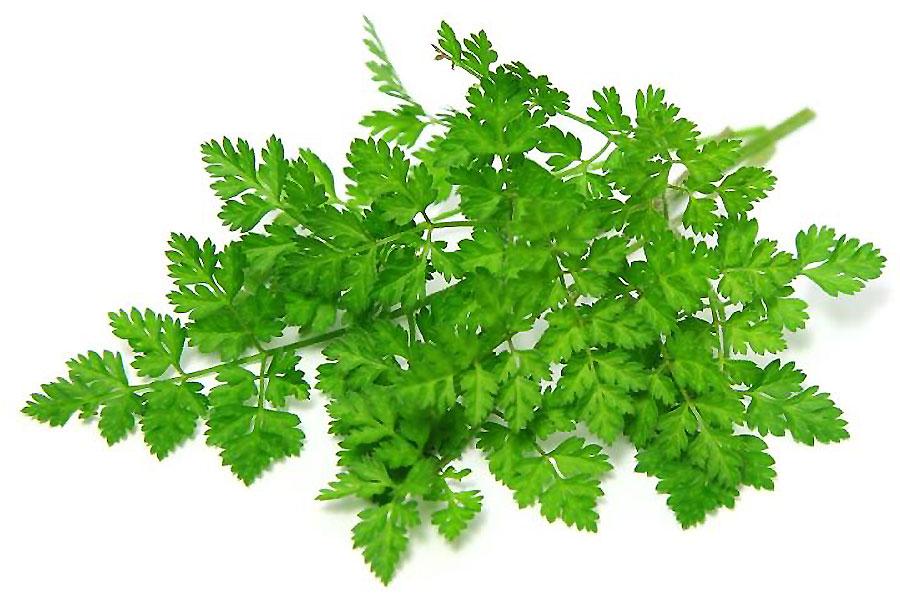 erba-aromatica-cerfoglio