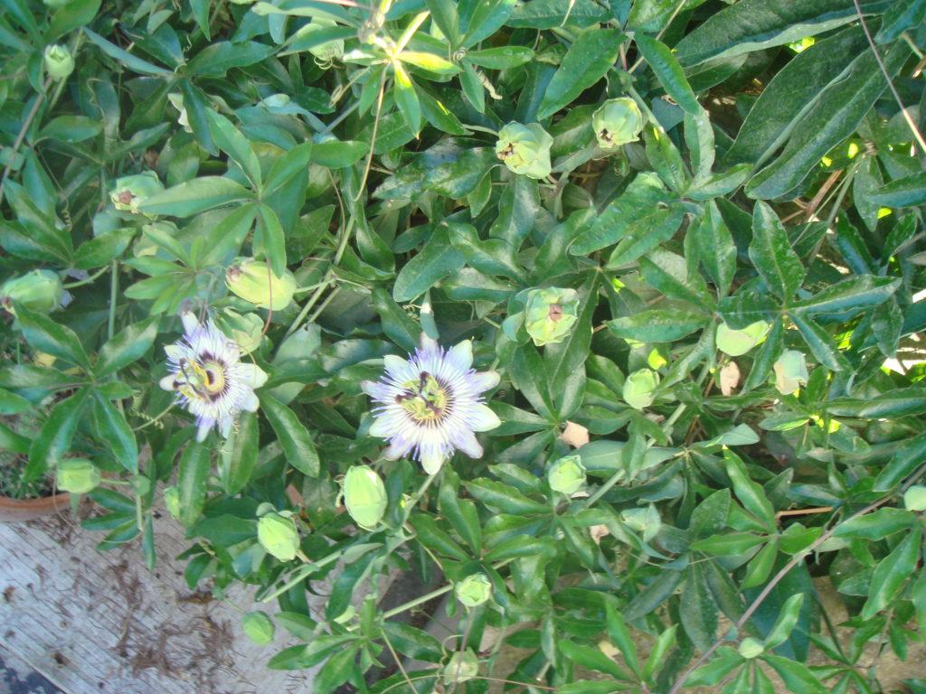 Passiflora pianta biologica azienda agricola tra la terra e il cielo