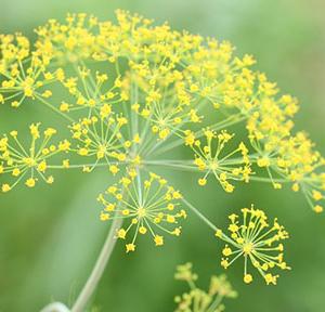 Aneto pianta biologica azienda agricola tra la terra e il cielo